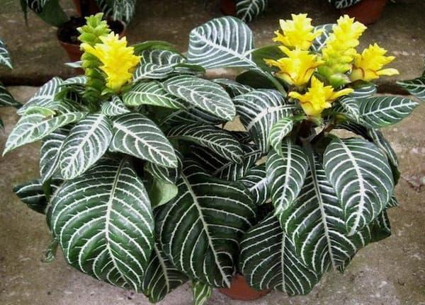 Zebra plants (Aphelandra squarrosa Nees)