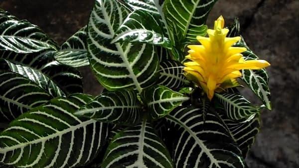 Zebra Plant Succulent (Aphelandra squarrosa Nees) Care & Propagation