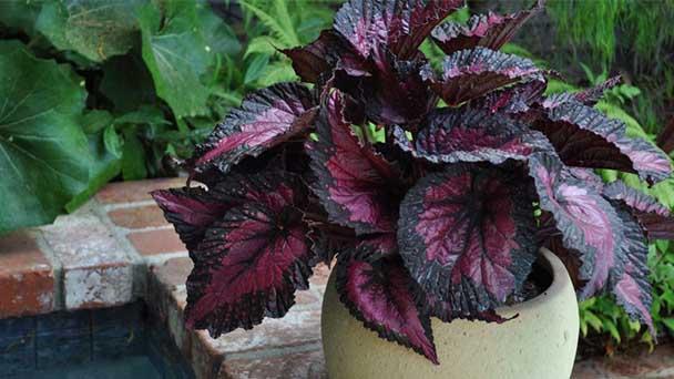 Begonia Rex Care & Propagation Guide