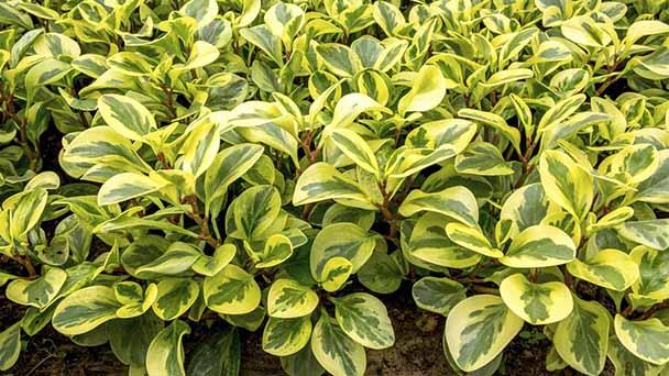 Peperomia Plant Care & Propagation Guide
