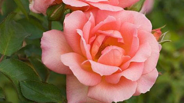 Baby Roses Care & Propagation Guide