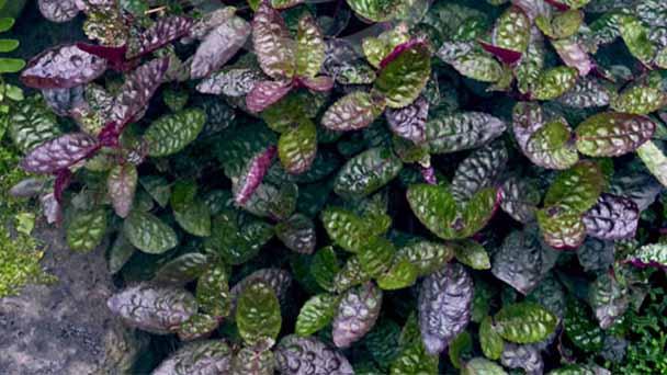 Purple Waffle Plant Care & Propagation Guide