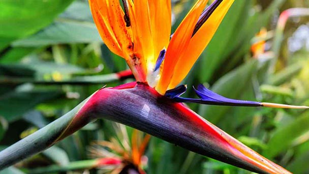 Bird of Paradise Plant Care & Propagation Guide