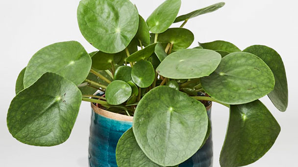 Chinese Money Plant Care & Propagation Guide