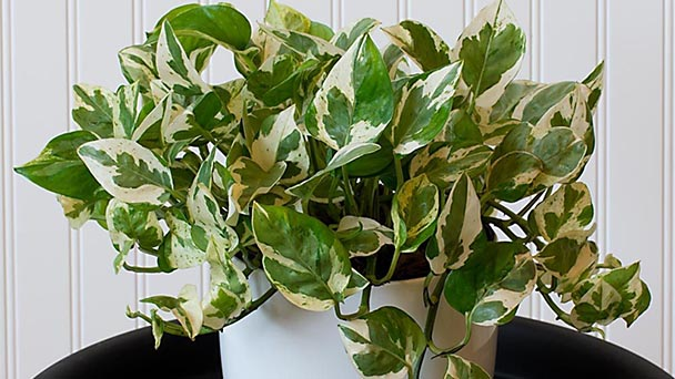 Pearls and Jade Pothos Care & Propagation Guide
