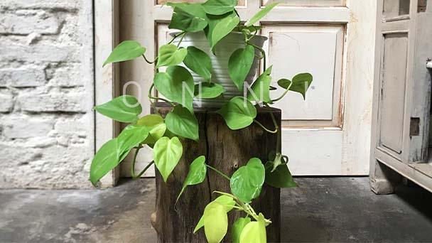 Lemon Lime Philodendron Care & Propagation Guide