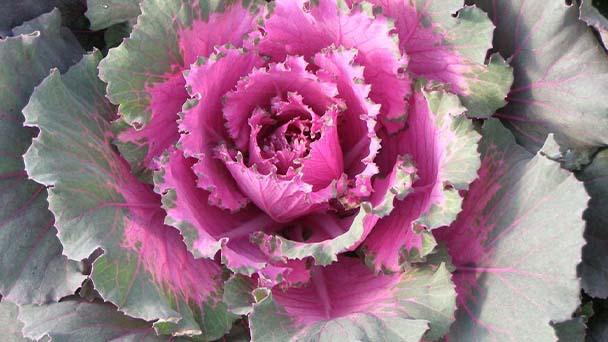 Ornamental Cabbage Care & Propagation Guide
